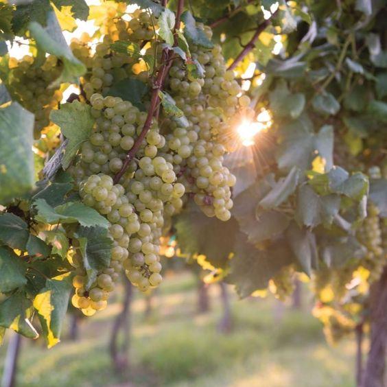grapes maturity